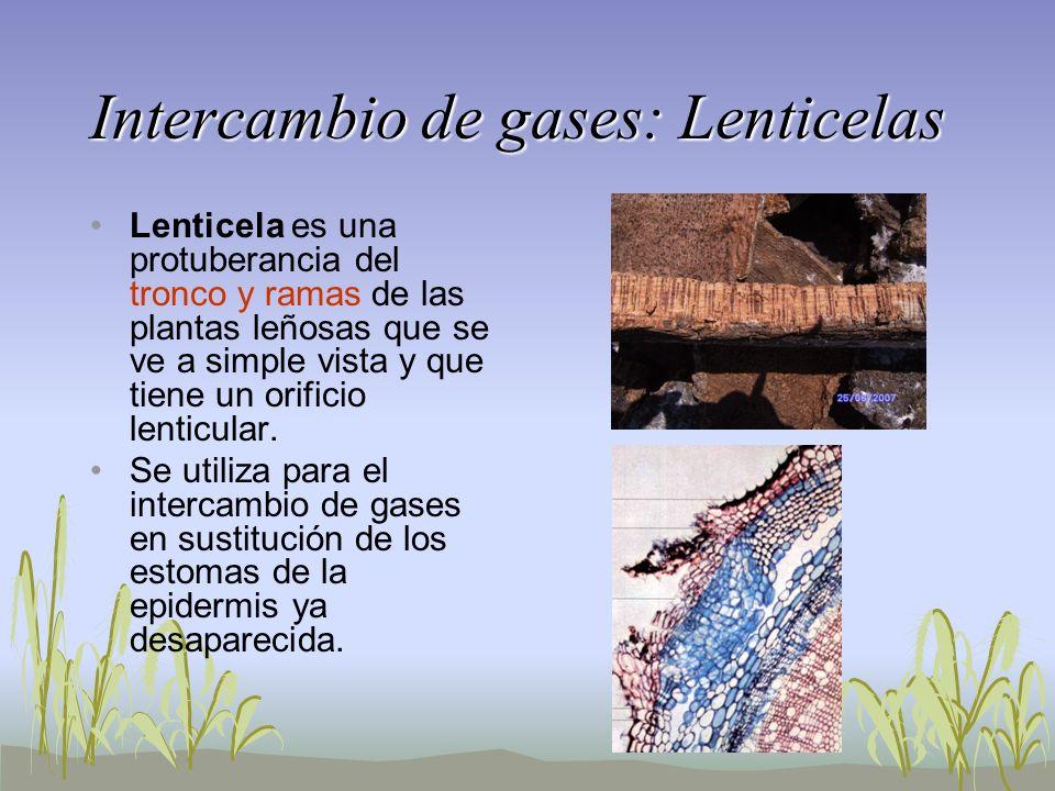 Intercambio de gases: Lenticelas Lenticela es una protuberancia del tronco y ramas de las plantas leñosas que se ve a simple vista y que tiene un orif