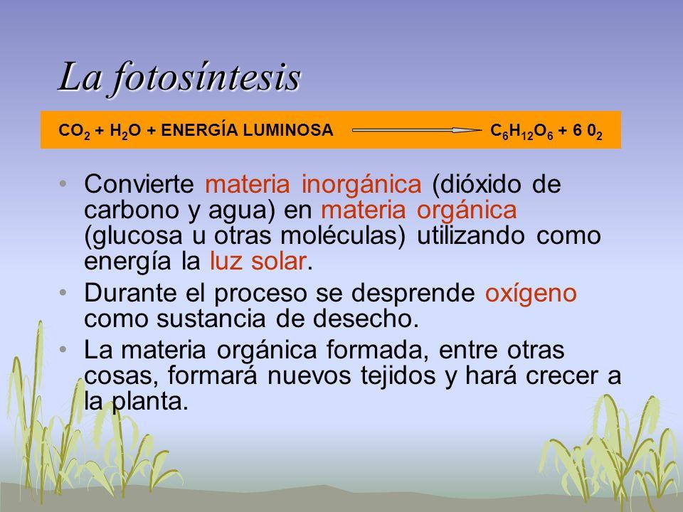 La fotosíntesis Convierte materia inorgánica (dióxido de carbono y agua) en materia orgánica (glucosa u otras moléculas) utilizando como energía la lu