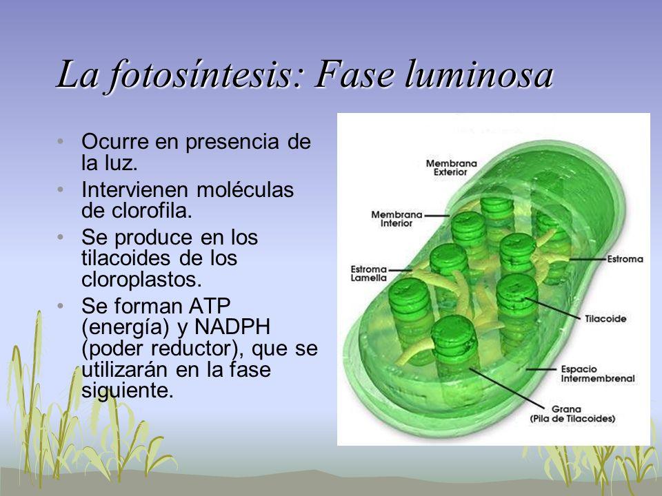La fotosíntesis: Fase luminosa Ocurre en presencia de la luz. Intervienen moléculas de clorofila. Se produce en los tilacoides de los cloroplastos. Se