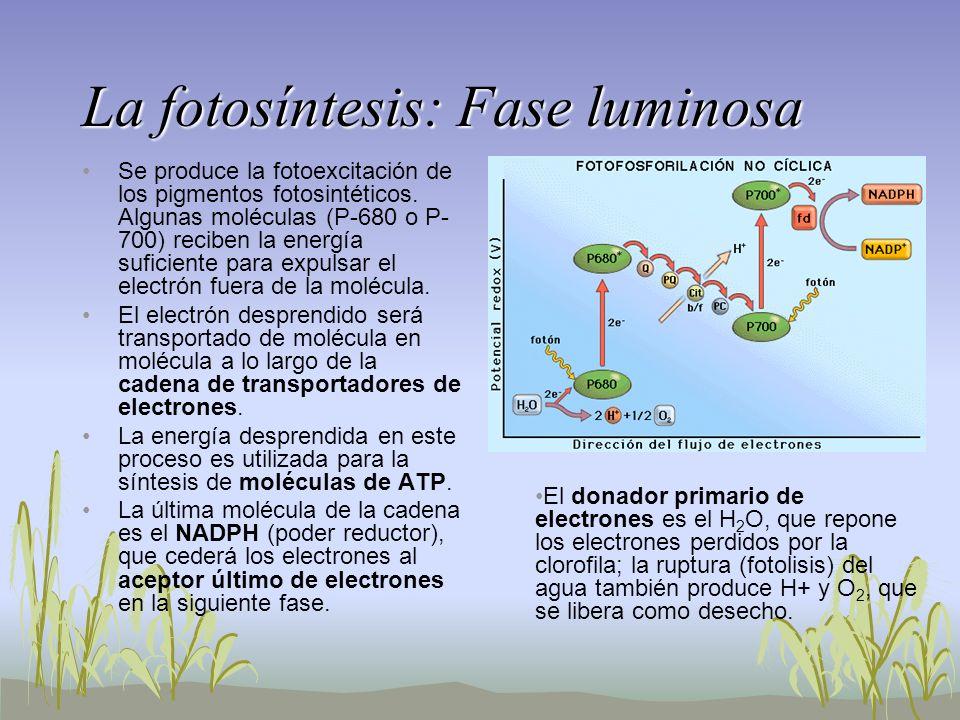 La fotosíntesis: Fase luminosa Se produce la fotoexcitación de los pigmentos fotosintéticos. Algunas moléculas (P-680 o P- 700) reciben la energía suf