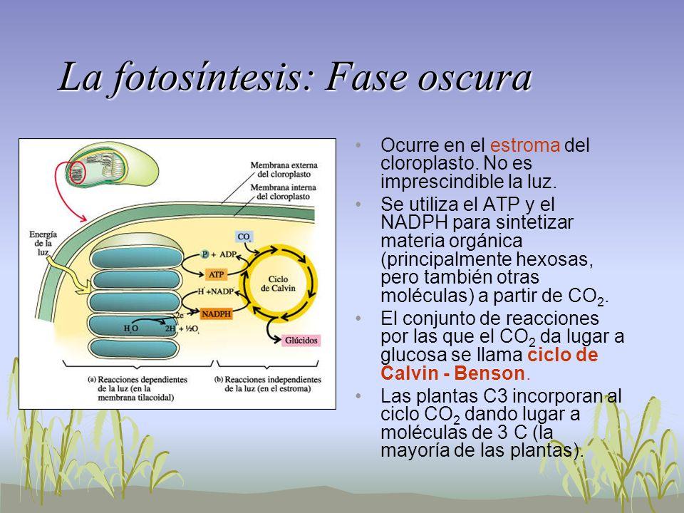 La fotosíntesis: Fase oscura Ocurre en el estroma del cloroplasto. No es imprescindible la luz. Se utiliza el ATP y el NADPH para sintetizar materia o