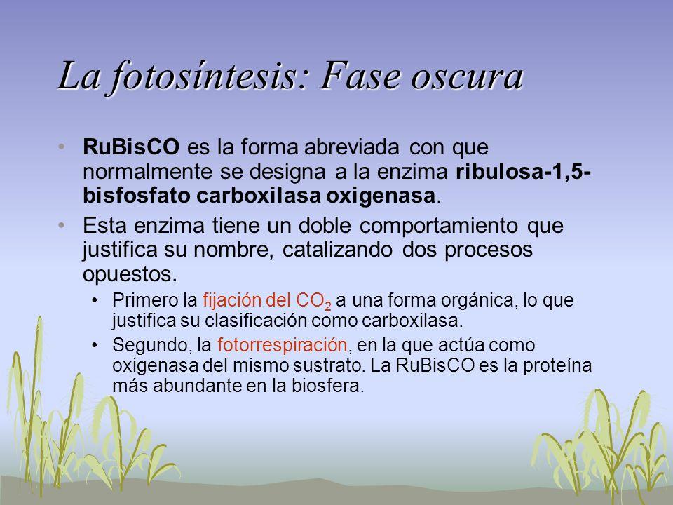La fotosíntesis: Fase oscura RuBisCO es la forma abreviada con que normalmente se designa a la enzima ribulosa-1,5- bisfosfato carboxilasa oxigenasa.