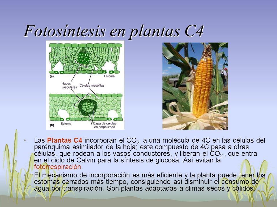 Fotosíntesis en plantas C4 Las Plantas C4 incorporan el CO 2 a una molécula de 4C en las células del parénquima asimilador de la hoja; este compuesto