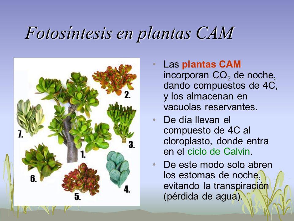 Fotosíntesis en plantas CAM Las plantas CAM incorporan CO 2 de noche, dando compuestos de 4C, y los almacenan en vacuolas reservantes. De día llevan e