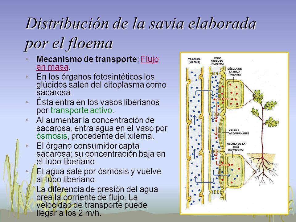 Distribución de la savia elaborada por el floema Mecanismo de transporte: Flujo en masa. En los órganos fotosintéticos los glúcidos salen del citoplas