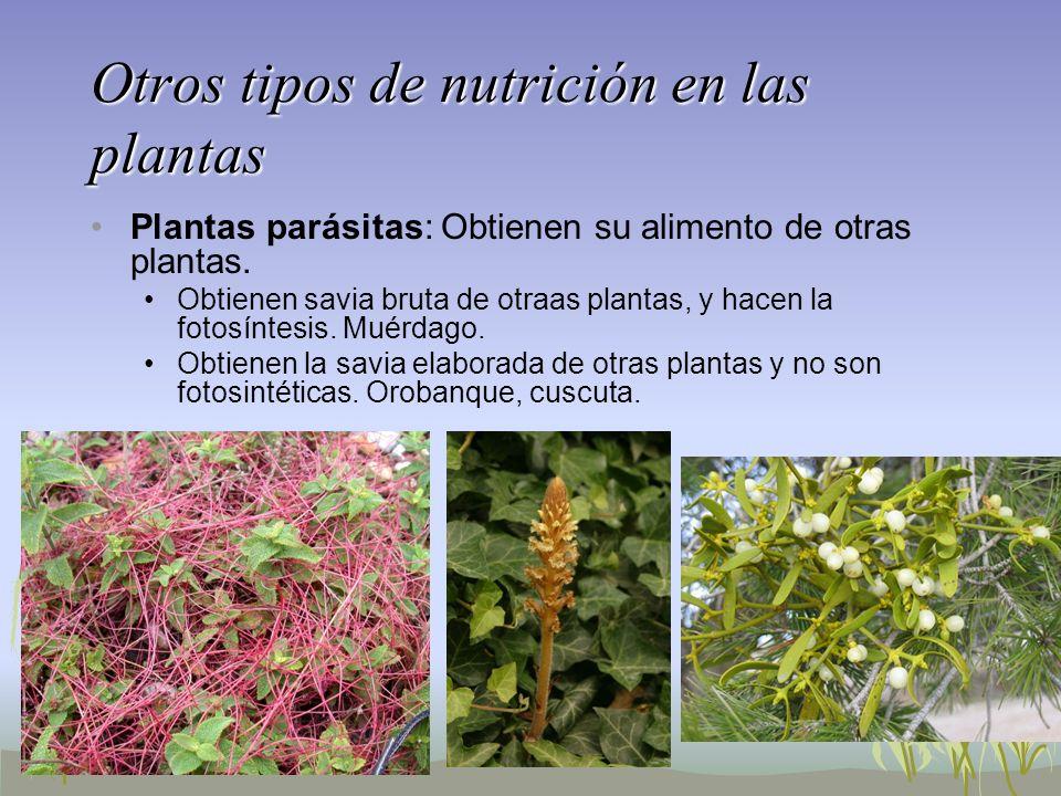 Otros tipos de nutrición en las plantas Plantas parásitas: Obtienen su alimento de otras plantas. Obtienen savia bruta de otraas plantas, y hacen la f