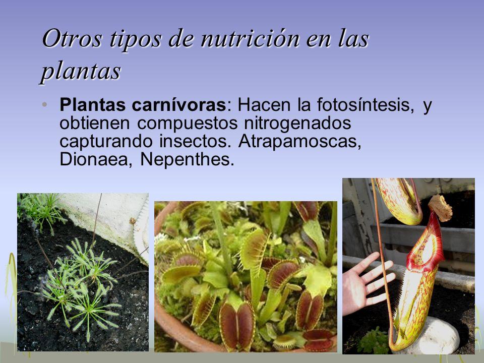 Plantas carnívoras: Hacen la fotosíntesis, y obtienen compuestos nitrogenados capturando insectos. Atrapamoscas, Dionaea, Nepenthes. Otros tipos de nu