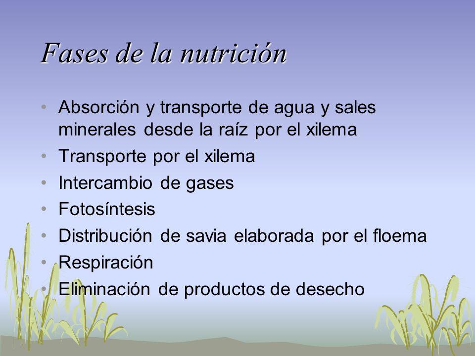 Fases de la nutrición Absorción y transporte de agua y sales minerales desde la raíz por el xilema Transporte por el xilema Intercambio de gases Fotos