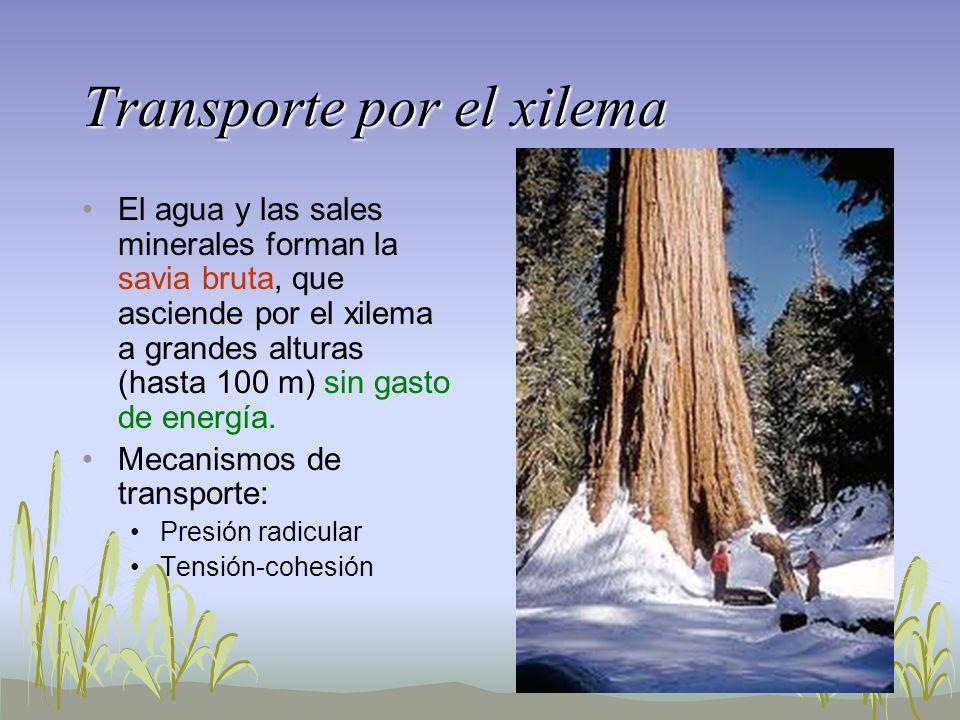 Transporte por el xilema El agua y las sales minerales forman la savia bruta, que asciende por el xilema a grandes alturas (hasta 100 m) sin gasto de