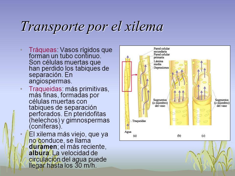 Transporte por el xilema Tráqueas: Vasos rígidos que forman un tubo continuo. Son células muertas que han perdido los tabiques de separación. En angio