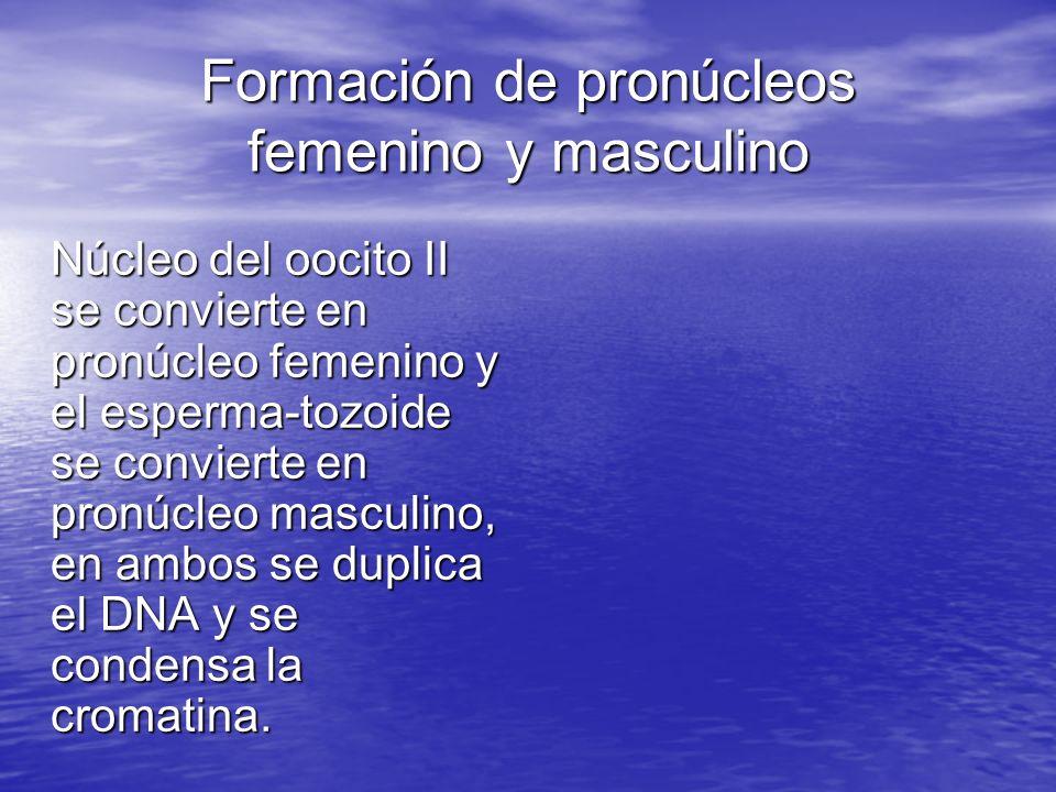 Formación de pronúcleos femenino y masculino Núcleo del oocito II se convierte en pronúcleo femenino y el esperma-tozoide se convierte en pronúcleo ma