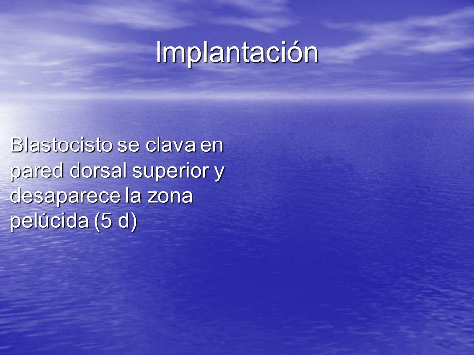 Implantación Blastocisto se clava en pared dorsal superior y desaparece la zona pelúcida (5 d)