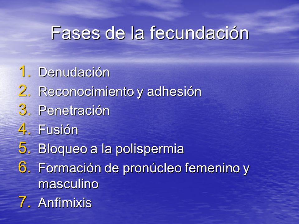 Fases de la fecundación 1. Denudación 2. Reconocimiento y adhesión 3. Penetración 4. Fusión 5. Bloqueo a la polispermia 6. Formación de pronúcleo feme