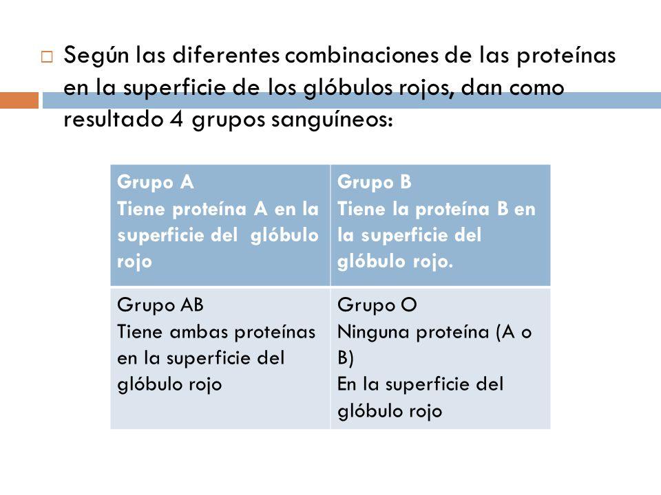 Según las diferentes combinaciones de las proteínas en la superficie de los glóbulos rojos, dan como resultado 4 grupos sanguíneos: Grupo A Tiene prot