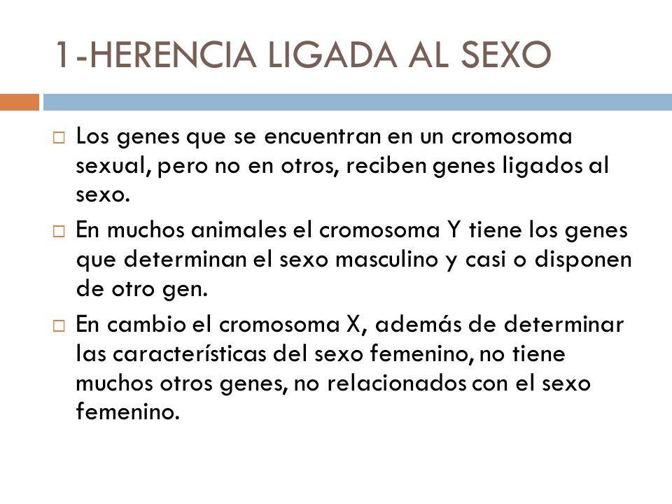 1-HERENCIA LIGADA AL SEXO Los genes que se encuentran en un cromosoma sexual, pero no en otros, reciben genes ligados al sexo. En muchos animales el c