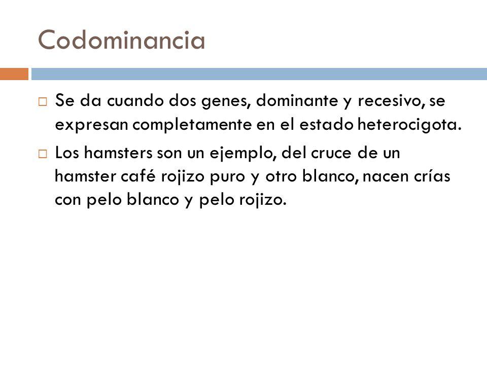 Codominancia Se da cuando dos genes, dominante y recesivo, se expresan completamente en el estado heterocigota. Los hamsters son un ejemplo, del cruce