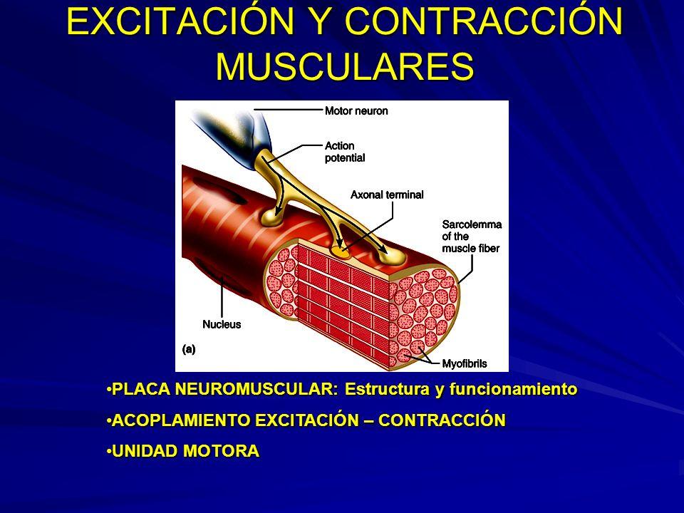 EXCITACIÓN Y CONTRACCIÓN MUSCULARES PLACA NEUROMUSCULAR: Estructura y funcionamientoPLACA NEUROMUSCULAR: Estructura y funcionamiento ACOPLAMIENTO EXCI