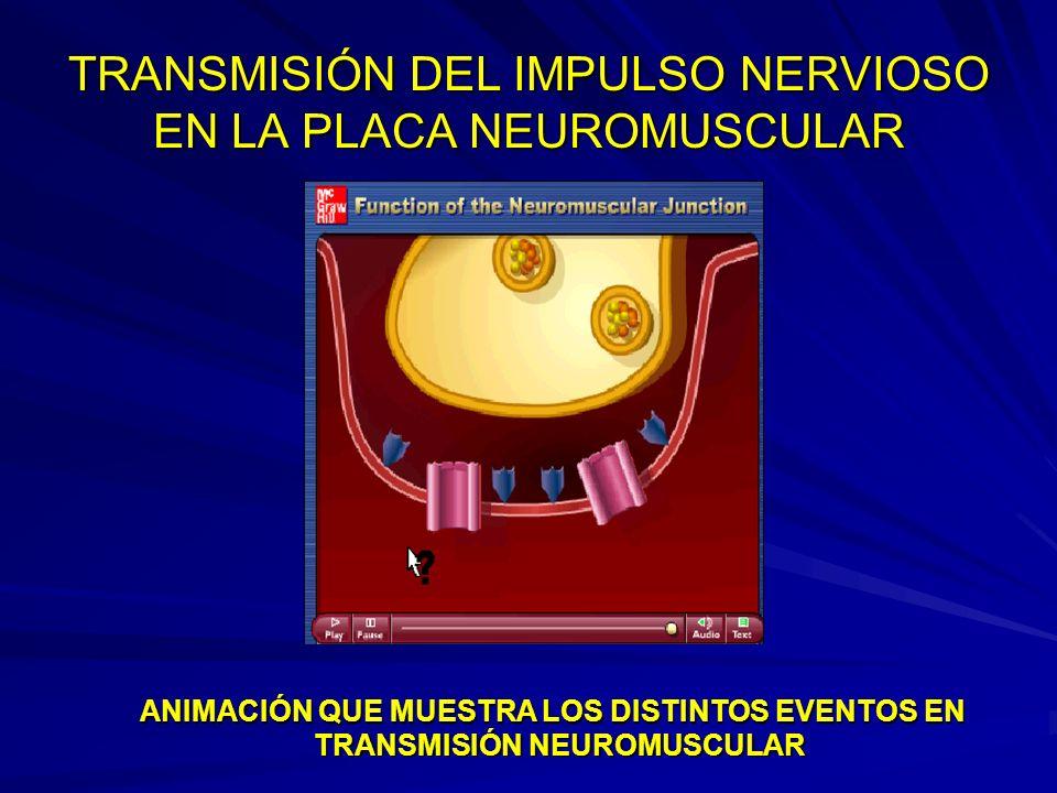 TRANSMISIÓN DEL IMPULSO NERVIOSO EN LA PLACA NEUROMUSCULAR ANIMACIÓN QUE MUESTRA LOS DISTINTOS EVENTOS EN TRANSMISIÓN NEUROMUSCULAR