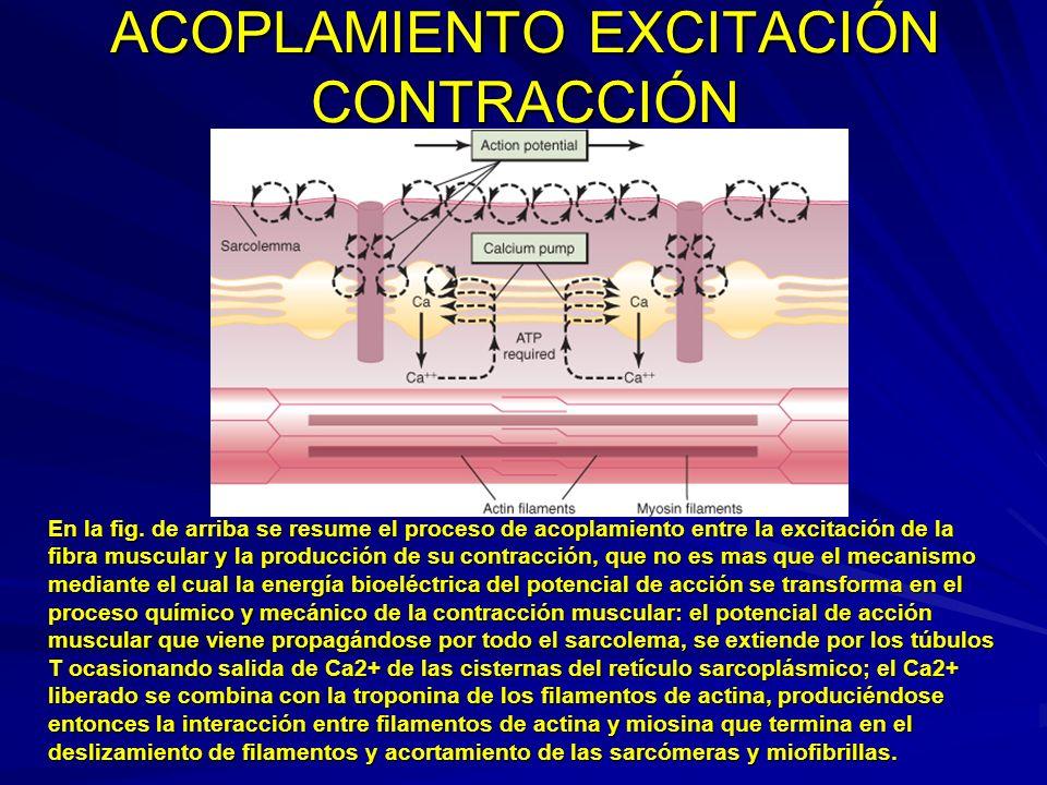 ACOPLAMIENTO EXCITACIÓN CONTRACCIÓN En la fig. de arriba se resume el proceso de acoplamiento entre la excitación de la fibra muscular y la producción