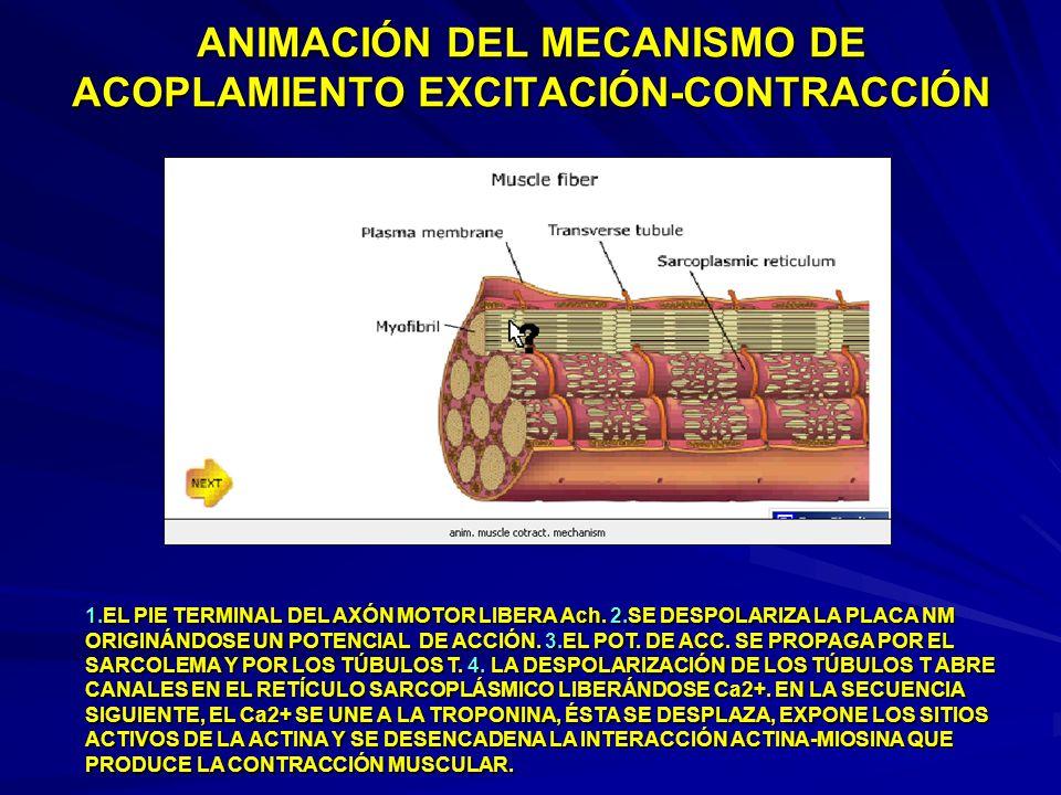 ANIMACIÓN DEL MECANISMO DE ACOPLAMIENTO EXCITACIÓN-CONTRACCIÓN 1.EL PIE TERMINAL DEL AXÓN MOTOR LIBERA Ach. 2.SE DESPOLARIZA LA PLACA NM ORIGINÁNDOSE