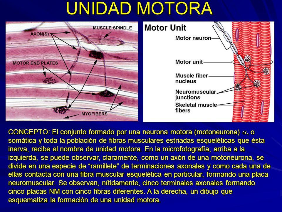 UNIDAD MOTORA CONCEPTO: El conjunto formado por una neurona motora (motoneurona) o somática y toda la población de fibras musculares estriadas esquelé