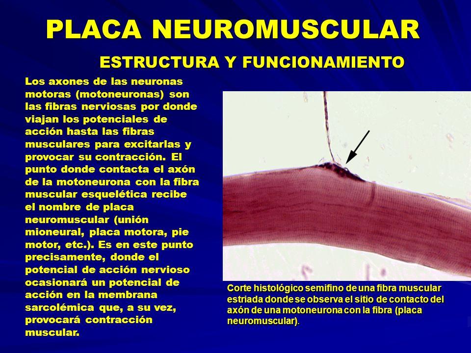 PLACA NEUROMUSCULAR ESTRUCTURA Y FUNCIONAMIENTO Los axones de las neuronas motoras (motoneuronas) son las fibras nerviosas por donde viajan los potenc