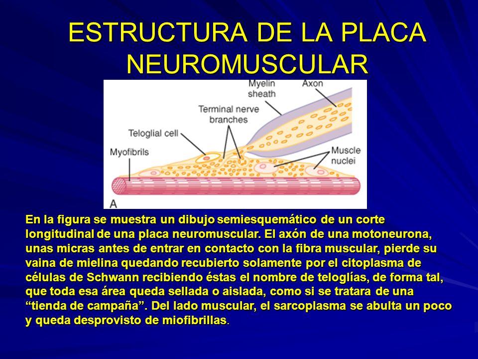 ESTRUCTURA DE LA PLACA NEUROMUSCULAR El extremo del axón se abulta recibiendo el nombre de botón terminal; éste, no llega a establecer contacto físico con la membrana sarcolémica, sino que va a permanecer separado de ella por un espacio ( en blanco en la fig.