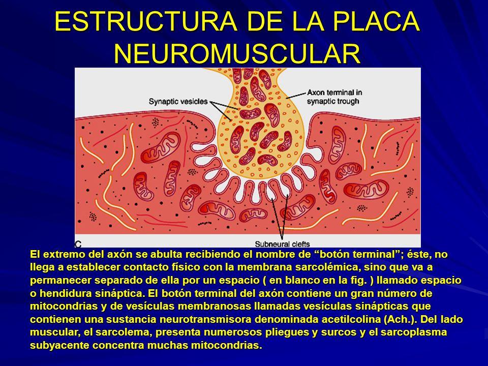 ESTUCTURA DE LA PLACA De una manera práctica suele dividirse la placa neuromuscular en tres componentes: 1.- Componente presináptico: Constituido por el botón terminal del axón con sus vesículas sinápticas llenas de Ach.