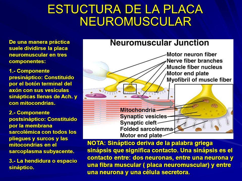 ESTUCTURA DE LA PLACA De una manera práctica suele dividirse la placa neuromuscular en tres componentes: 1.- Componente presináptico: Constituido por