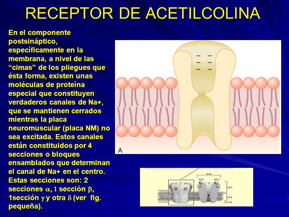 RECEPTOR DE ACETILCOLINA En el componente postsináptico, específicamente en la membrana, a nivel de las cimas de los pliegues que ésta forma, existen