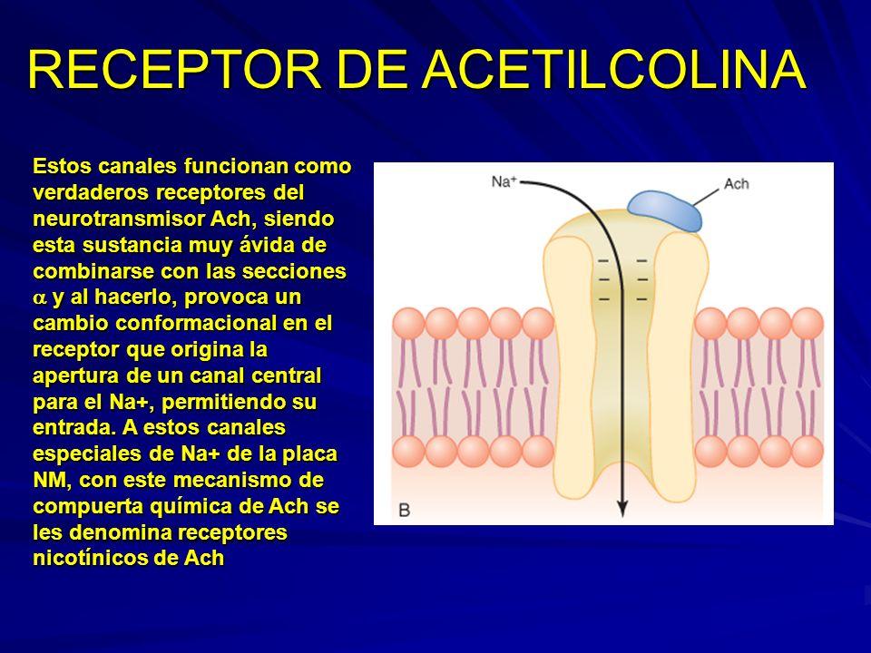 Estos canales funcionan como verdaderos receptores del neurotransmisor Ach, siendo esta sustancia muy ávida de combinarse con las secciones y al hacer