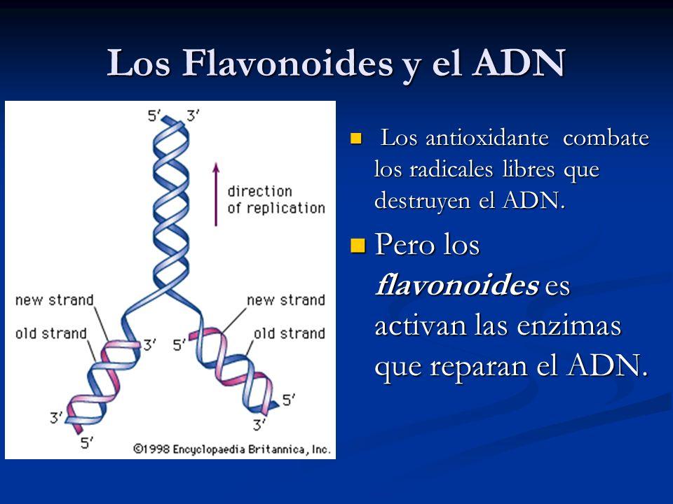 Los Flavonoides y el ADN Los antioxidante combate los radicales libres que destruyen el ADN. Pero los flavonoides es activan las enzimas que reparan e