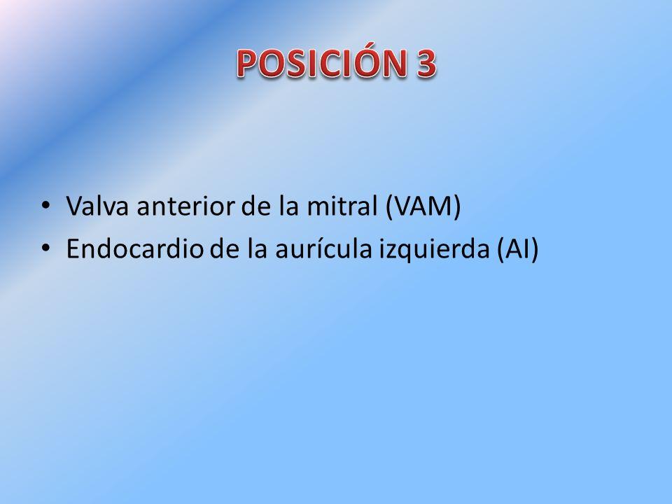 Valva anterior de la mitral (VAM) Endocardio de la aurícula izquierda (AI)
