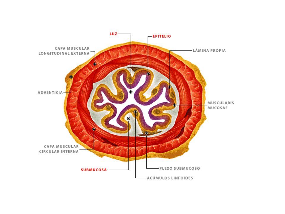 Intestino grueso Se compone de las regiones: ciego, colon ascendente, transverso, descendente, sigmoides, recto y ano.