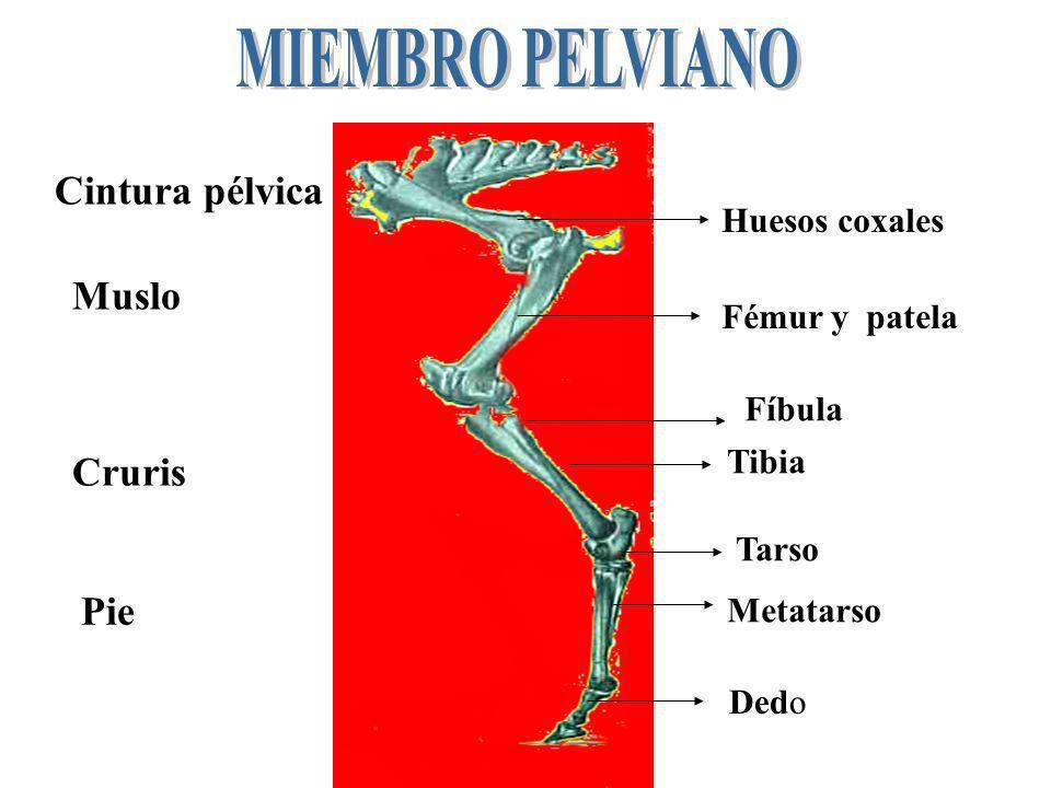 Cintura pélvica Muslo Cruris Pie Huesos coxales Fémur y patela Fíbula Tibia Tarso Metatarso Dedo