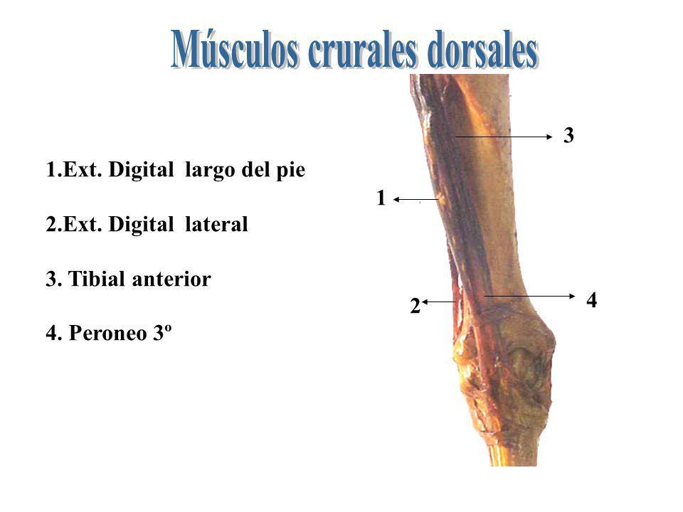 1 2 3 4 1.Ext. Digital largo del pie 2.Ext. Digital lateral 3. Tibial anterior 4. Peroneo 3º