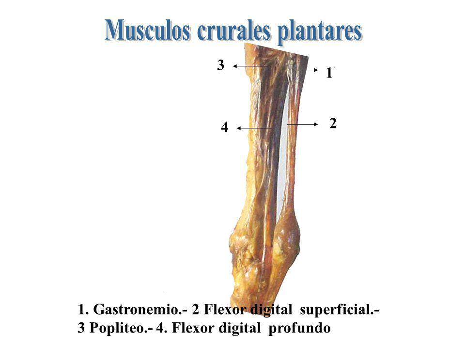 1 2 3 4 1. Gastronemio.- 2 Flexor digital superficial.- 3 Popliteo.- 4. Flexor digital profundo