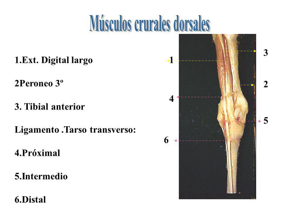 1 2 3 4 5 6 1.Ext. Digital largo 2Peroneo 3º 3. Tibial anterior Ligamento.Tarso transverso: 4.Próximal 5.Intermedio 6.Distal