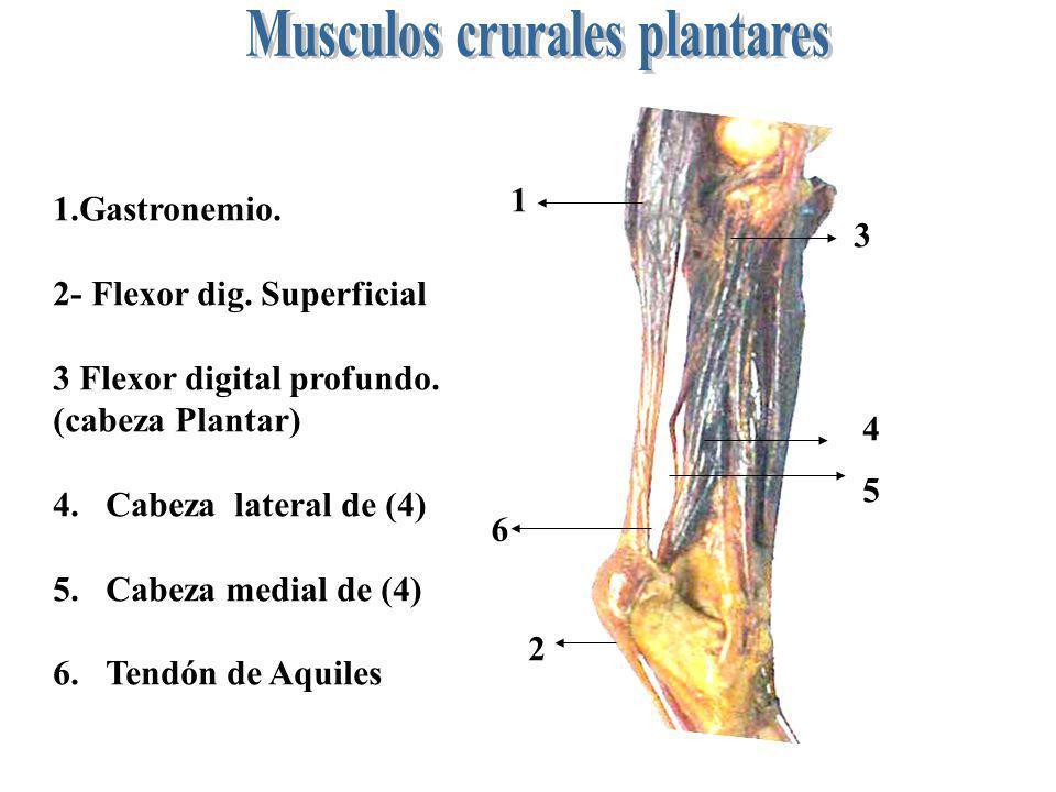 1 2 3 4 5 6 1.Gastronemio. 2- Flexor dig. Superficial 3 Flexor digital profundo. (cabeza Plantar) 4.Cabeza lateral de (4) 5.Cabeza medial de (4) 6.Ten