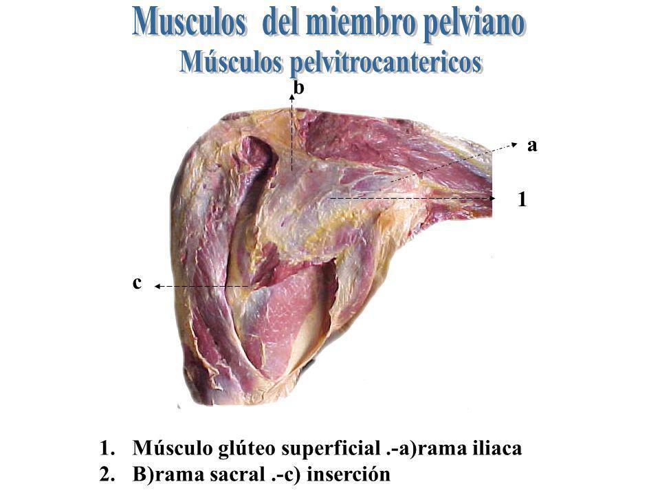 1 a b c 1.- músculo glúteo medio.-a) extremo craneal b) Rama tendinosa.- b) rama carnosa (representa el Músculo piriforme