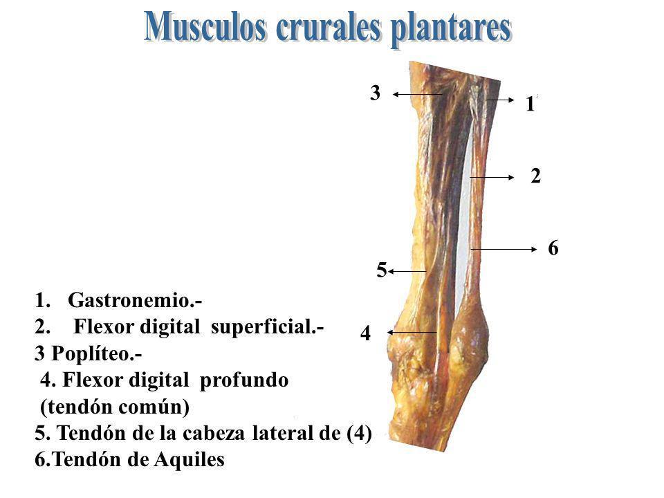1 2 3 4 1.Gastronemio.- 2. Flexor digital superficial.- 3 Poplíteo.- 4. Flexor digital profundo (tendón común) 5. Tendón de la cabeza lateral de (4) 6