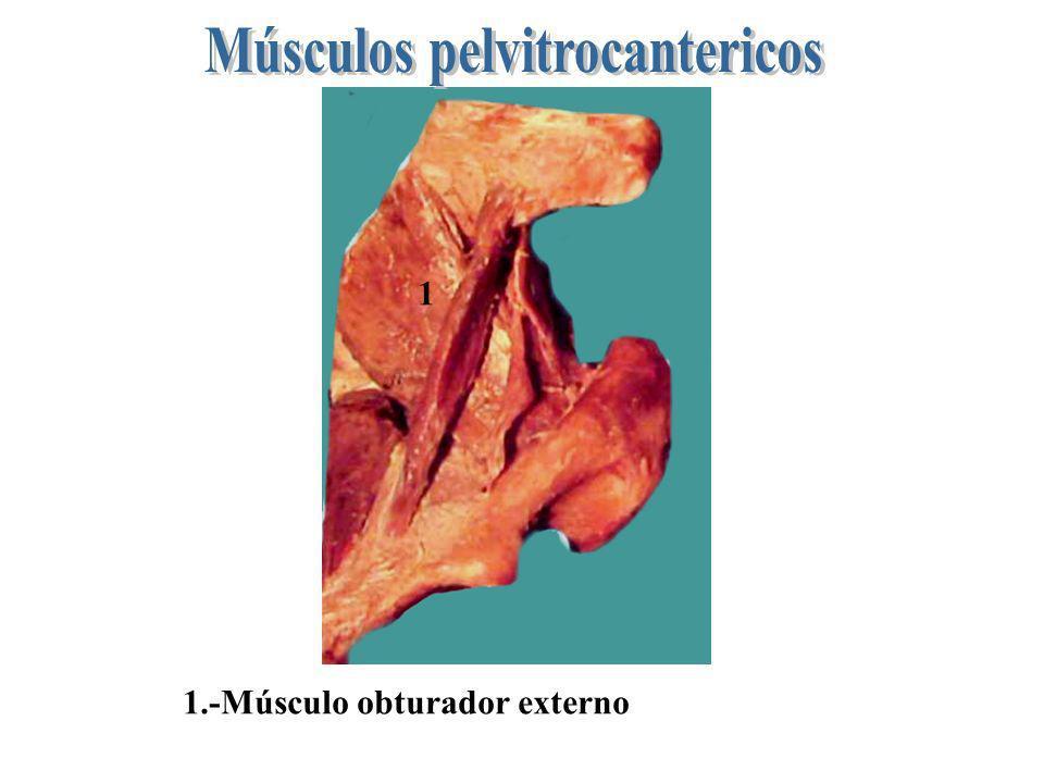 1 b a 1.Músculo obturador interno.- a) su porción iliaca.- b) Su porción isquiática