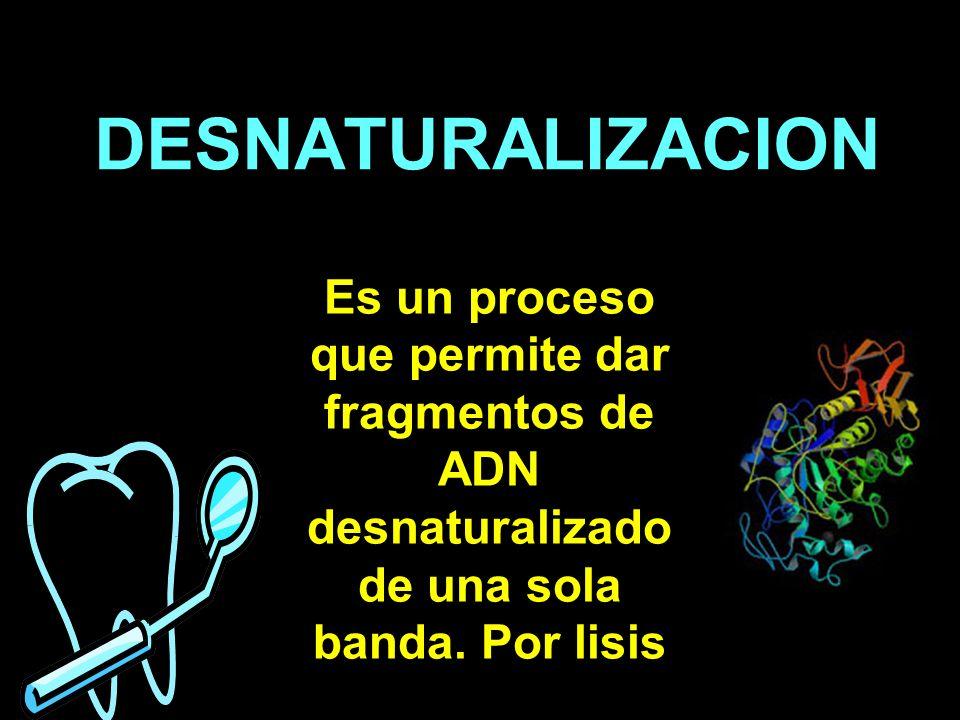 Es un proceso que permite dar fragmentos de ADN desnaturalizado de una sola banda. Por lisis DESNATURALIZACION