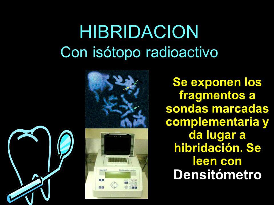 HIBRIDACION Con isótopo radioactivo Se exponen los fragmentos a sondas marcadas complementaria y da lugar a hibridación. Se leen con Densitómetro