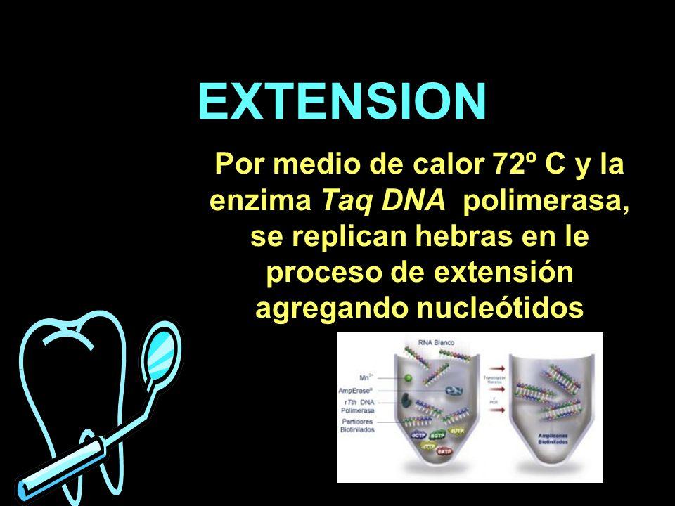 EXTENSION Por medio de calor 72º C y la enzima Taq DNA polimerasa, se replican hebras en le proceso de extensión agregando nucleótidos