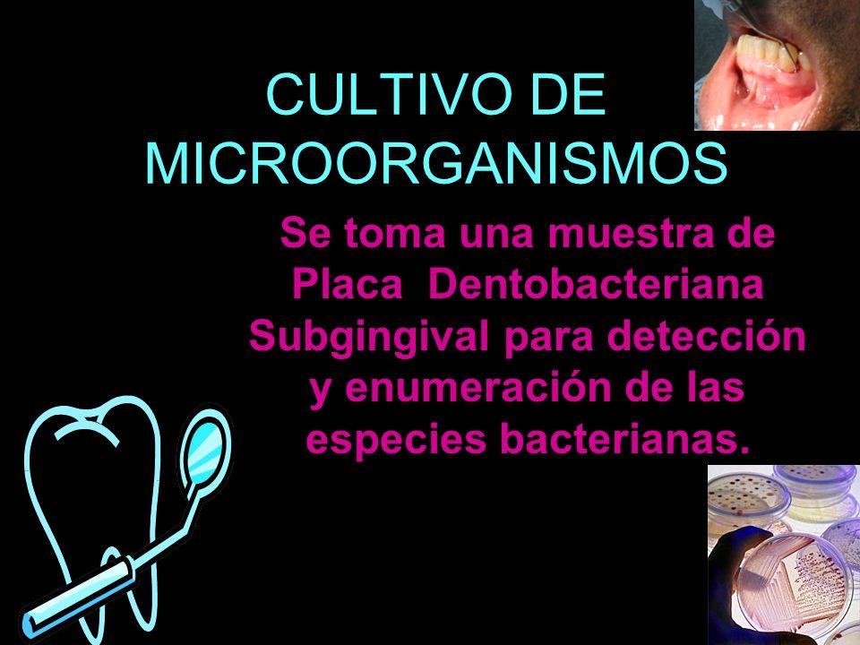 CULTIVO DE MICROORGANISMOS Se toma una muestra de Placa Dentobacteriana Subgingival para detección y enumeración de las especies bacterianas.
