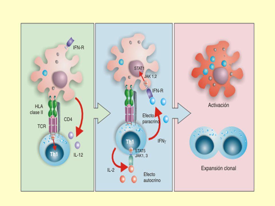 Receptores y vías de transmisión de señales Todos los receptores de citocinas constan de proteínas transmembrana cuyas porciones extracelulares son responsables de la unión a la citocina.