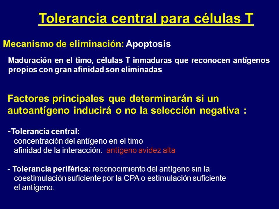 Tolerancia central para células T Maduración en el timo, células T inmaduras que reconocen antígenos propios con gran afinidad son eliminadas Factores