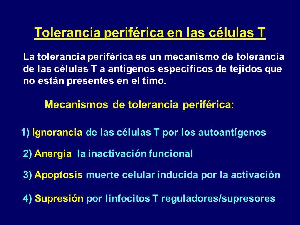 Tolerancia periférica en las células T La tolerancia periférica es un mecanismo de tolerancia de las células T a antígenos específicos de tejidos que