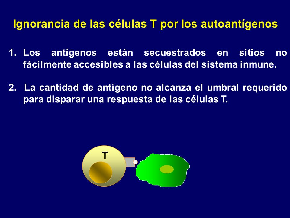 Ignorancia de las células T por los autoantígenos 1.Los antígenos están secuestrados en sitios no fácilmente accesibles a las células del sistema inmu